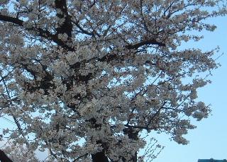sakura_04d.JPG